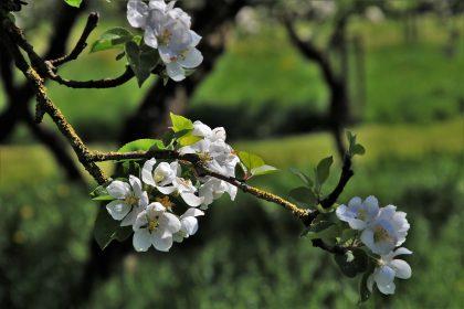 Podpora pěstování a zpracování ovoce