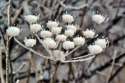 Krása zasněžených rostlin
